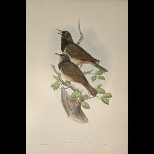 GOULD JOHN ( 1804-1881 ) - TURDUS ATROGULARIS